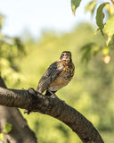 American robin,Turdus migratorius. Is a migratory songbird in the thrush family Royalty Free Stock Photos
