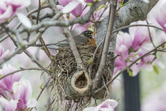 American robin (Turdus migratorius). Is a migratory songbird in the thrush family sitting on nest in Magolia tree Stock Photo
