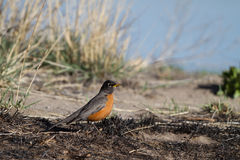 American Robin, Turdus migratorius Royalty Free Stock Photos