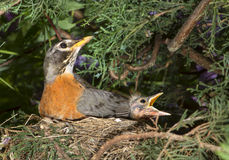 American robin (Turdus migratorius) with nestlings in the nest. Stock Photos