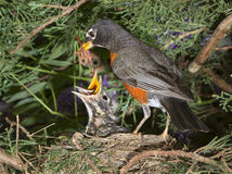 American robin (Turdus migratorius) with nestlings in the nest. Royalty Free Stock Images