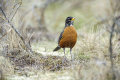 American Robin (Turdus migratorius). Parksville, British Columbia, Canada Stock Photography