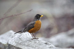American Robin (Turdus migratorius). Parksville, British Columbia, Canada Royalty Free Stock Images