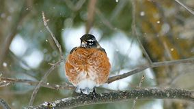 American robin, Turdus migratorius, perched on branch in snowfall