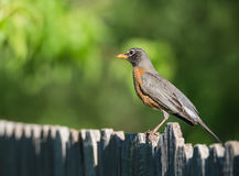 American robin (Turdus migratorius). Perched on wood fence. Natural green background Royalty Free Stock Photo