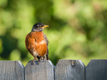 American robin Turdus migratorius. Perched on wood fence. Natural green background Royalty Free Stock Photos