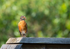 American robin Turdus migratorius. Perched on wood fence with worm. Natural green background Royalty Free Stock Image