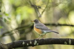 American Robin (Turdus migratorius). Spotted outdoors in the wild Stock Photography