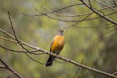 American Robin (Turdus migratorius). Spotted outdoors in the wild Stock Photos
