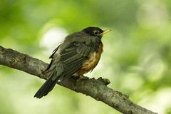 American Robin Turdus migratorius. Spotted outdoors in wild Stock Photo