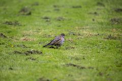 American Robin Turdus migratorius. Spotted outdoors in wild Royalty Free Stock Image