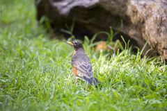 American Robin (Turdus migratorius). Spotted outdoors in wild Royalty Free Stock Images