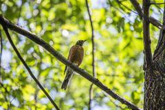 American Robin (Turdus migratorius). Spotted outdoors in wild Stock Photo