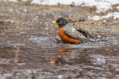 American Robin - Turdus migratorius royalty free stock photography