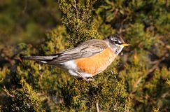 American Robin (Turdus migratorius) in a tree Royalty Free Stock Photo