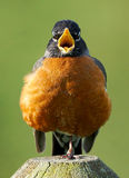 American Robin - Turdus migratorius. A vocal American Robin with a puffed up chest standing on one leg stock image
