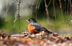 American Robin Under Cherry Tree. At Brookside Gardens in Silver Spring, Maryland, USA at early spring Royalty Free Stock Photos