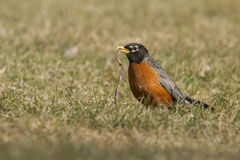 American Robin vs worm Royalty Free Stock Image