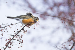 American Robin in winter Royalty Free Stock Photos