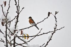 American robin in winter. American robin perched on a snowy branch Royalty Free Stock Photo