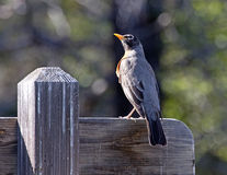 American Robin On Wooden Sign Royalty Free Stock Photos