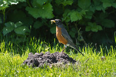American Robin with Worm Royalty Free Stock Image