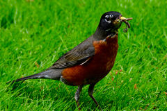 American Robin with worm in mouth. American Canadian robin on  green grass with worm in mouth in garden Royalty Free Stock Photography