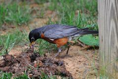 American Robin with worms. American Robin with a mouthful of worms Stock Image