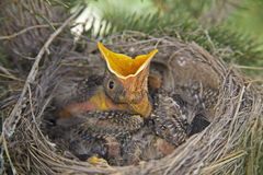 American robins nest chicks. Hungry American robin chicks in nest waiting for food with open mouth Stock Photos
