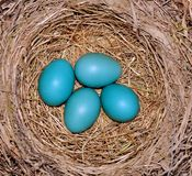 American Robins nest and eggs. Royalty Free Stock Photography