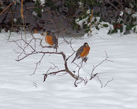 American Robins in the snow Royalty Free Stock Photo