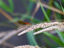 American Rubyspot Damselfly. An American Rubyspot Damselfy, scientific name: Hetaerina americana. Damselflies belong to the insect family called Odonata which Stock Photos