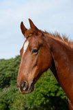 American Saddle Horse portrait Stock Photography