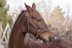 American Saddlebred Horse Royalty Free Stock Images
