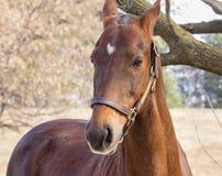 American Saddlebred Horse Stock Image