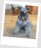 American schnauzer  Rossa my dog Royalty Free Stock Images