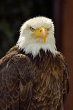 American sea eagle Royalty Free Stock Images