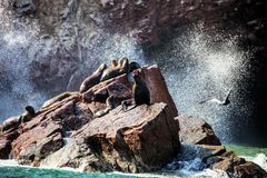 American sea lion South Otaria byronia. Colonies of sea lions in the surf on the Ballestas Islands, Peru Stock Photography