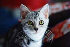 American shorhair cute little kitten. Kitten, kitten and royalty free stock photos