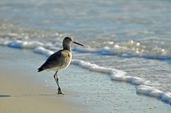 American Short-billed Dowitcher Sandpiper in Surf royalty free stock photos