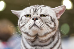 American short hair cat close-up at cat show Royalty Free Stock Photos