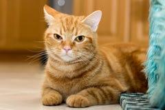 American Short Hair Cat ,color brown.  Stock Photo