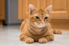 American Short Hair Cat ,color brown.  Stock Photos