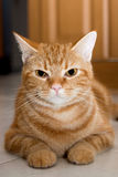 American Short Hair Cat ,color brown.  Stock Images