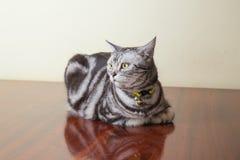 American short hair cat crouch. On wood floor Stock Photos