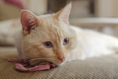 American short hair cat in the living room Royalty Free Stock Image