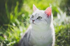 American Short Hair cat playing on green grass. Close up of cute American Short Hair cat looking up on green grass Stock Photos