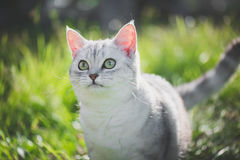 American Short Hair cat playing on green grass. Close up of cute American Short Hair cat looking up on green grass Stock Image