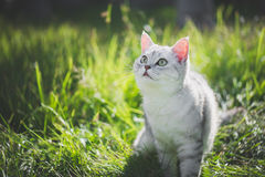 American Short Hair cat playing on green grass. Close up of cute American Short Hair cat looking up on green grass Royalty Free Stock Images