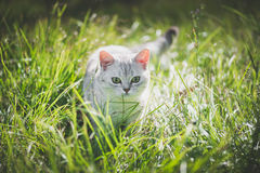 American Short Hair cat playing on green grass. Cute American Short Hair cat playing on green grass Stock Photo